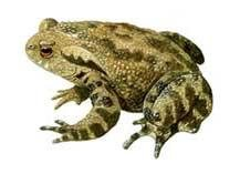 Toad is a telltale for impending quakes: scientists