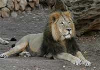 Lion Census at Gir from April 22