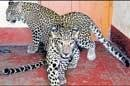 Leopards handed over to Wadiyar's sister