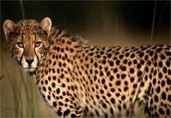 Govt in talks with SA for translocation of Cheetah