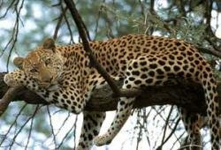 Now poachers go for leopards
