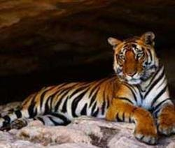 States asked to phase out tourism from tiger habitats