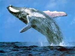 IWC proposes allowing Japan to hunt 120 whales a year
