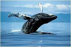 Whales 'communicate by slapping water in noisy conditions'