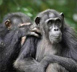 Chimpanzees 'grieve for loved ones'
