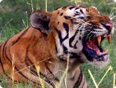 Sariska to get two more tigers