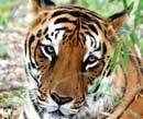 Forest officials boycott tiger census fearing Maoist presence