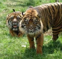 Kaziranga: High tiger density may be due to habitat loss