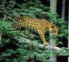 Freeing up corridors for jaguars