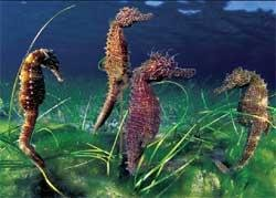 530 seahorses bred and released in TN