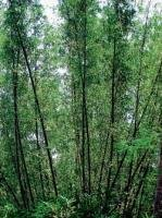 Bamboo makes a comeback in Bhadra