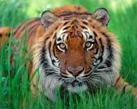 Sunderbans tigers frequently straying to nearby villages