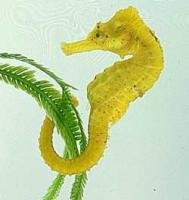 Maha's proposal to use seahorses for research rejected
