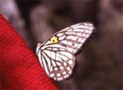 Massive decline in butterflies in Himalayas