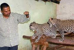 Leopard cubs return to the wild