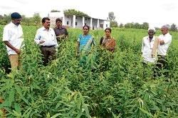 Farmers told to grow jute to increase soil fertility
