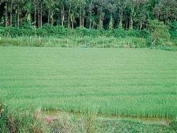 Erratic rains badly affect agriculture activities