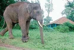 'Radio collars can not prevent tusker-human tiff'