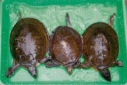 Bid to sell tortoises, 2 held