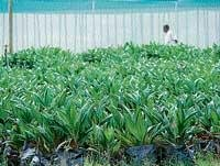 Palm a promising, alternative crop for farmers