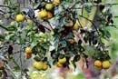 Govt finds oranges too sour