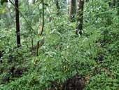 Agarwood, the wonder crop