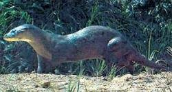 Hopes alive for near-extinct otter seen in Borneo