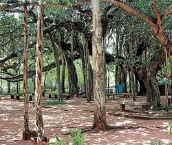10 ancient trees named arboreal heritage