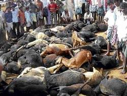 169 sheep electrocuted in HP Halli