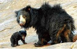 Asia's first sloth bear sanctuary under threat
