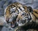 Last of tigers in six percent of habitat