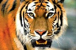 2 tigers still critically ill at Bannerghatta park