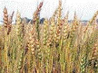India hopes for bumper harvest next year
