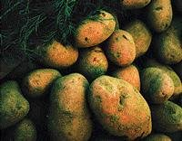 Soon, a GM potato with 60 per cent more protein