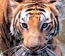 2 tigers show improvement in Bangalore park, 1 still critical