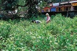 Horticulture dept set to spread jasmine fragrance