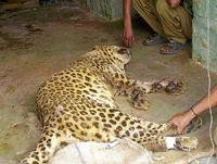 BBP tigers recover, leopard still critical