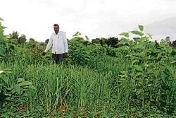 Mixed crop  yields success