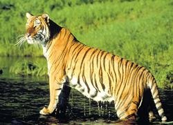 Tribals forced to make way for tigers in forests