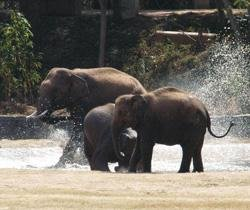 Govt declares elephant as national heritage animal
