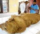 Lion, panther die at Bannerghatta Park