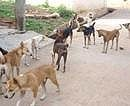 Stray dogs maul child to death