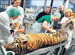 World's first artificial hip for German tiger