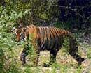 Small leap in the wild for big cats