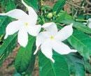 Indian jasmine may be next-generation painkiller