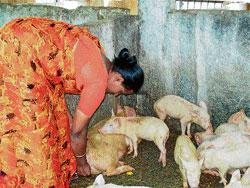 Farmer makes fortune from pigsty