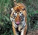 India's tigers struggle for space