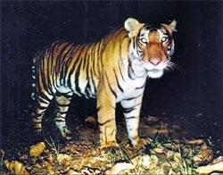 Marathoner tiger killed in territorial fight
