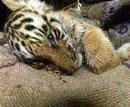 Tigress cub dies in BNP