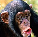 Chimpanzees warn groups of dangers